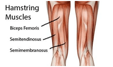 Harmstring Muscles